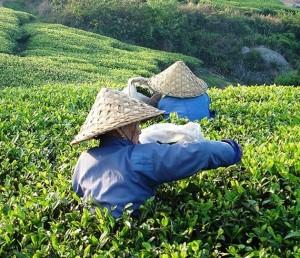 recolección té blanco infusiones pharmadus